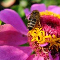 Пчела на цинии. :: Люба