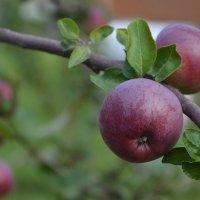 Созревают яблоки :: Александра Климина