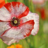 Цветы в моем саду :: Нина северянка