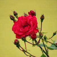 Красная роза :: sapoznik-1