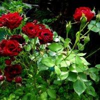 Роз прекрасных куст. :: Антонина Гугаева