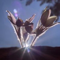 Весенние цветы :: Анатолий Володин