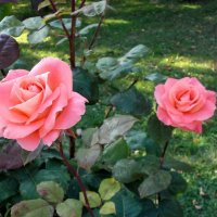 Две розы :: VasiLina *