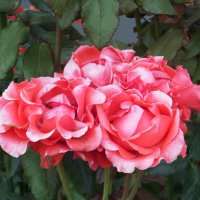 Царица цветов :: MarinaKiseleva