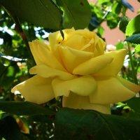 Розы августа...... :: Galina Dzubina