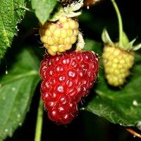 ягода - малина :: Ольга Мутовина