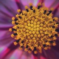 Сердцевинка цветка космея :: Ксения OKDMUSE