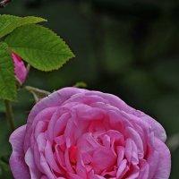 Роза :: Vit