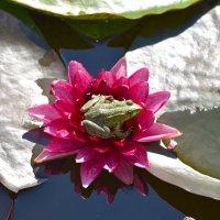 Ложе для лягушки :: Nina Streapan
