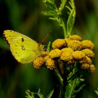 мир бабочек 52 :: Александр Прокудин