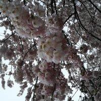 Сакура в цвету :: Елена Окутина