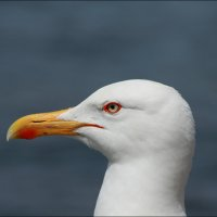 Чайка :: Анатолий Винник