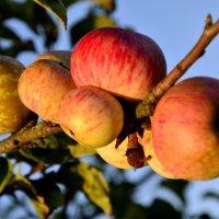 урожай диких яблок :: Геннадий Титов