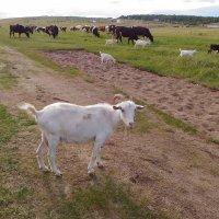 Любопытная коза :: Елена Красильникова
