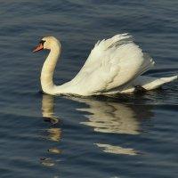 белый лебедь :: Игорь Овчинников
