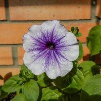 цветок петуньи :: Сергей Лындин
