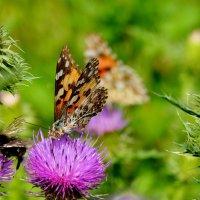 опять бабочки...3 :: Александр Прокудин