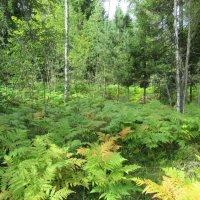 Папоротник в лесу :: Татьяна Гусева
