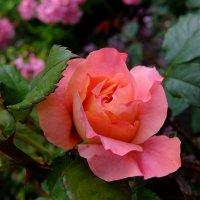 Роза. :: Люба