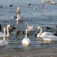 Лебеди на Чёрном море. Анапа :: Валерий