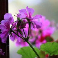 Flowers :: Nikola Ivanovski