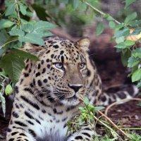 леопард :: Михаил Бибичков