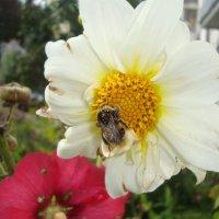 шмедь на цветке :: Марина Итина