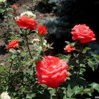 Розарий в обычном дворике :: Нина Бутко