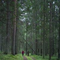 Прогулка по хвойному лесу :: Михаил Онипенко