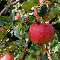 Атмосферный портрет яблока :: Надежд@ Шавенкова
