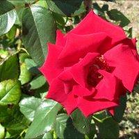 Августовская роза :: Нина Корешкова