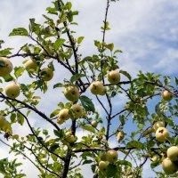 Украинские яблочки. :: Виктор Иванович