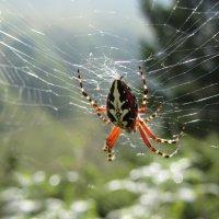 Горный паук :: Виталий Купченко