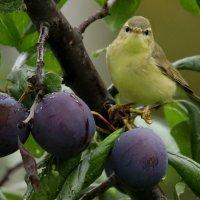 Птичка со сливой :: Светлана