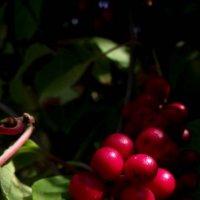 Красавица -    актинидия1 :: Евгений БРИГ и невич