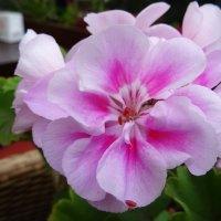 Цветок герани :: Татьяна Р