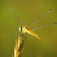 Глаз стрекозы - вид сзади :: SVetlana Veter