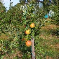 Яблоневый сад :: Надежд@ Шавенкова