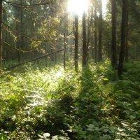 солнце в лесу :: веселов михаил