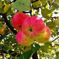 молодильные яблоки :: Владимир