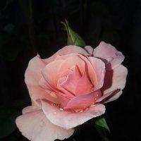 Роза и капельки дождя... :: Татьяна
