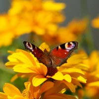 павлиний глаз в саду :: Александр Прокудин