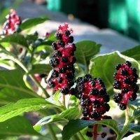 Лаконос ягодный – растение уникальное, одновременно и полезное, и немного опасное :: Татьяна Смоляниченко