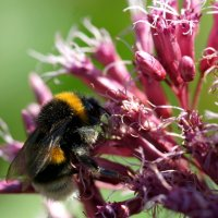Пчела :: Roms Grigonis