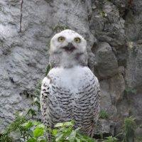 Белая сова :: Наташа