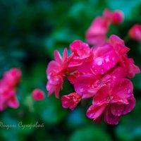 Герань после дождя :: Лидия Суюрова