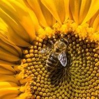 Подсолнух и пчелка :-) :: Олег Фролов