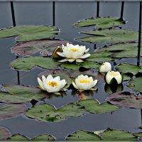 Лилии на озере.Смоленщина. :: Ольга Митрофанова