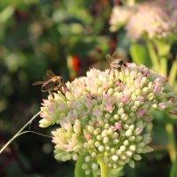 Трудятся пчелы :: Татьяна Са