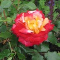 Цветок двух цветов :: Дмитрий Никитин